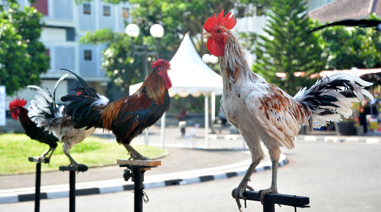 Ayam Termahal di Dunia