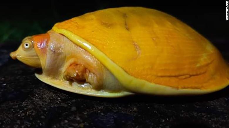 kura-kura kuning