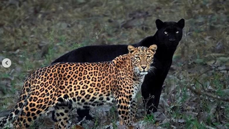 macan tutul dan black panther