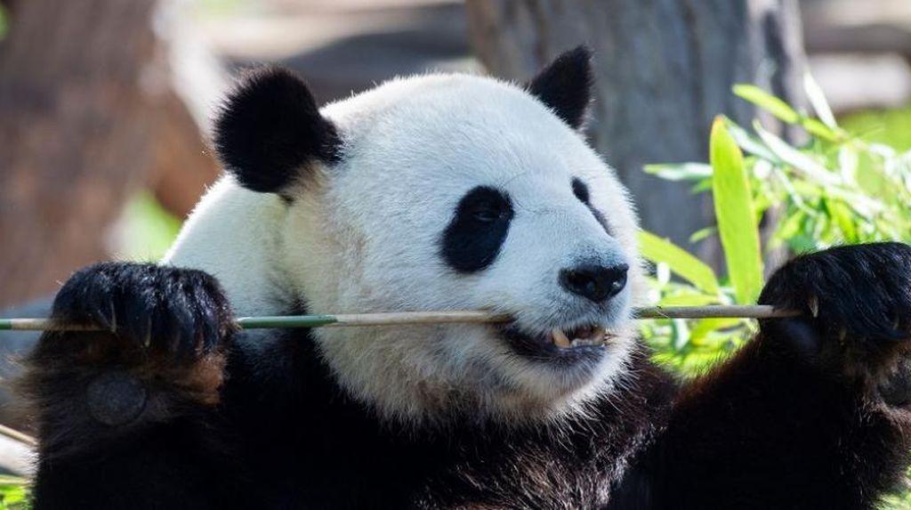 Kebun Binatang AS Sambut Kelahiran Bayi Panda Raksasa