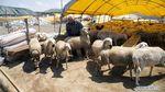 Suasana Pasar Hewan Kurban di India hingga Gaza Jelang Idul Adha