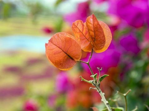 Buganvilla, bugambilia shrub branches with orange flowers, ornamental plant flowering