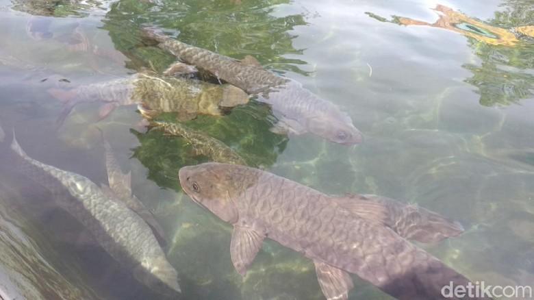 Objek wisata ikan dewa di Kuningan.