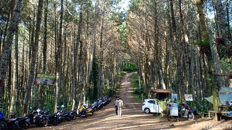Wisata hutan pinus di Lembang.