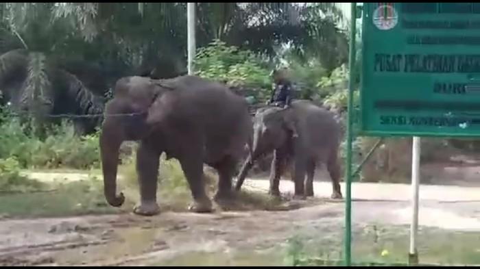 BBKSDA Riau evakuasi gajah betina yang terpisah dari kelompoknya.