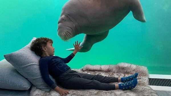 Terletak akuarium besar di dalam kamar. Walrus akan mengintip melalui kaca yang membatasi tangki dan ruangan wisatawan (Pairi Diza Resort)