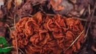 Meski Beracun Jamur Morel Tetap Jadi Makanan Populer di Finlandia