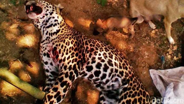 Macan tutul di pegunungan Sanggabuana ditembak pemburu gelap