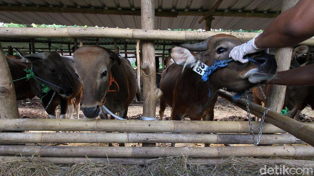 Pemotongan Sapi Tak Manusiawi Disorot, MPU Aceh Punya Fatwa Sendiri