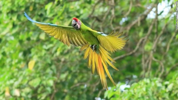 Di genggamannya ada benih biji almond gunung, mampu tumbuh hingga 60 meter, tempat burung Macaw Hijau kini berkembang biak lagi. Hewan itu masuk daftar yangterancam punah.
