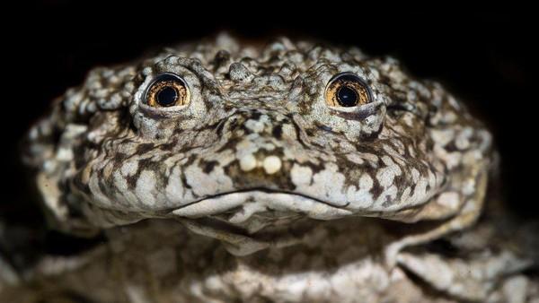 Katak ini memiliki nama ilmiah Telmatobius culeus. Lipatan-lipatan kulit berlebih pada katak skrotum bukan sekadar hiasan, namun ternyata memiliki fungsi tertentu. (BBC Magazine)