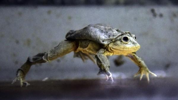 Saat ini, katak skrotum berstatus terancam punah. Populasi katak skrotum semakin berkurang disebabkan oleh manusia. Di Peru dan Bolivia, katak itu diburu untuk jadi afrodisiak alias makanan yang bisa membangkitkan gairah seksual. (AFP/AIZAR RALDES)