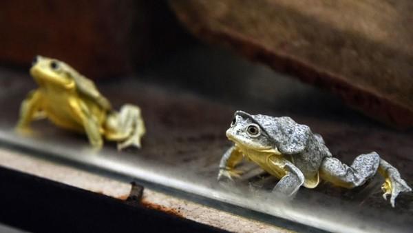 Spesies katak langka ini sekarang sedang dikembangkan dan diteliti oleh Chester Zoo. Diharapkan para peneliti bisa menganalisis rangkaian kehidupan, kebiasaan kawin, pengenalan lingkungan dari katak skrotum. (AFP/AIZAR RALDES)