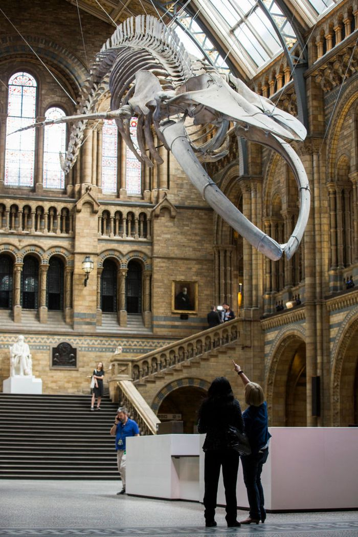LONDON, ENGLAND - JULY 13: A blue whale skeleton forms the main exhibit at the Natural History Museum on July 13, 2017 in London, England.  The 126-year-old skeleton, named