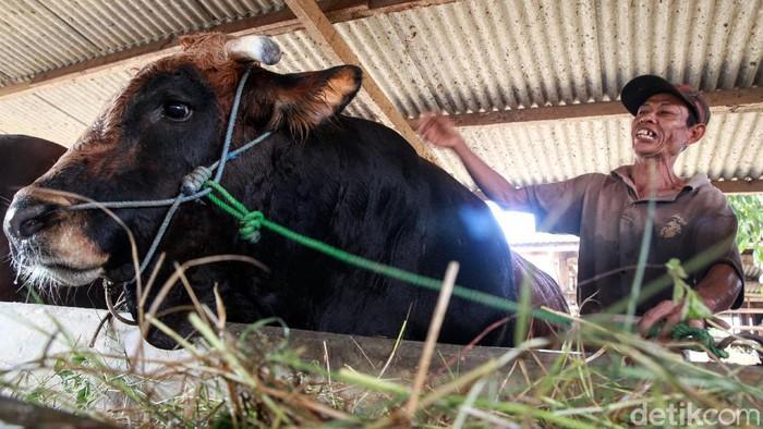 Presiden Jokowi telah membeli sapi jenis simental berbobot 1,1 ton untuk dikurbankan di Masjid Agung Al Bantani, Banten. Begini penampakanya.