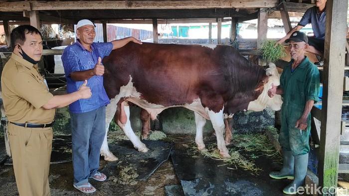 Sapi berbobot 940 kg di Maros yang dibeli Presiden Jokowi untuk Idul Adha 1441 Hijriah nanti dibandrol Rp 70 juta (M Bakrie/detikcom)