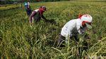 Wow! 400 Hektar Sawah di Cikeusik Panen Raya