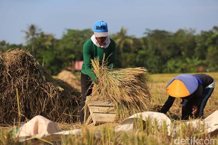 Petani melakukan panen di Desa Rancaseneng, Kecamatan Cikeusik, Pandeglang, Banten, Selasa (28/7/2020). Sebanyak 400 hektar sawah panen dengan baik.