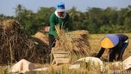 Produksi Naik, Kementan Minta Bulog Prioritaskan Beras Hasil Petani