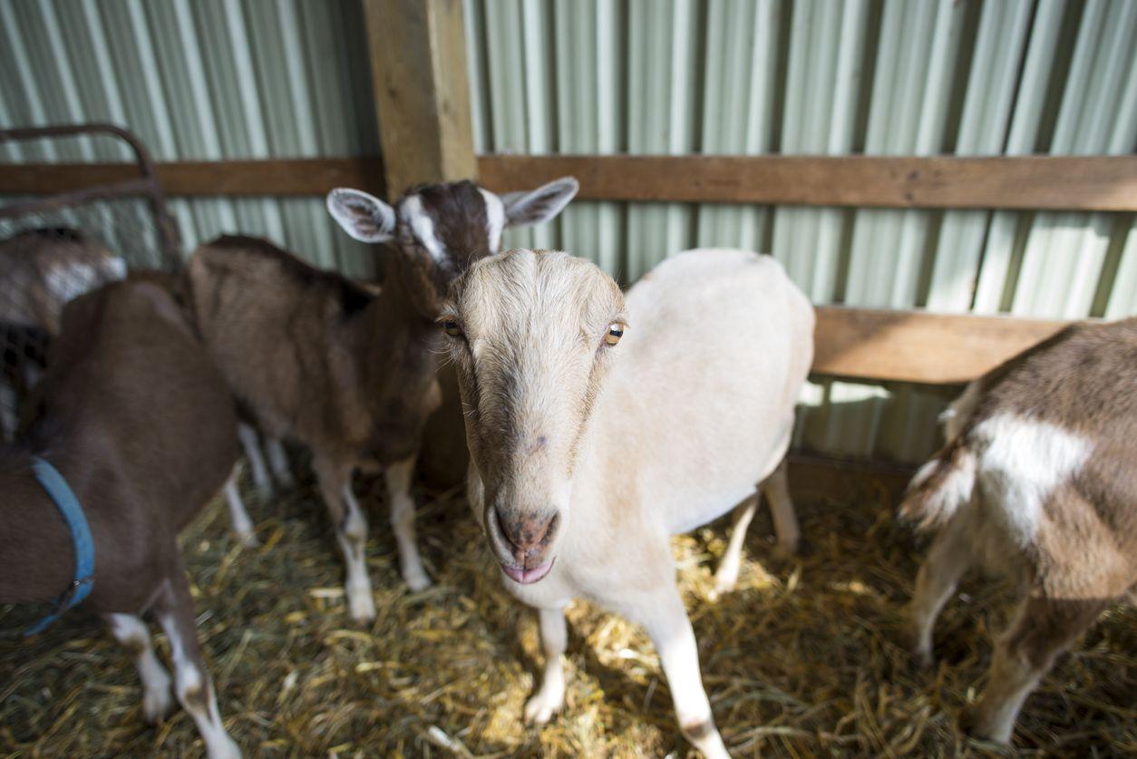 Cara membersihkan kepala kambing