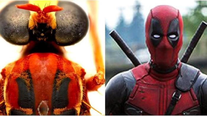 Deadpool, Loki hingga Black Widow: Nama-nama serangga baru di Australia