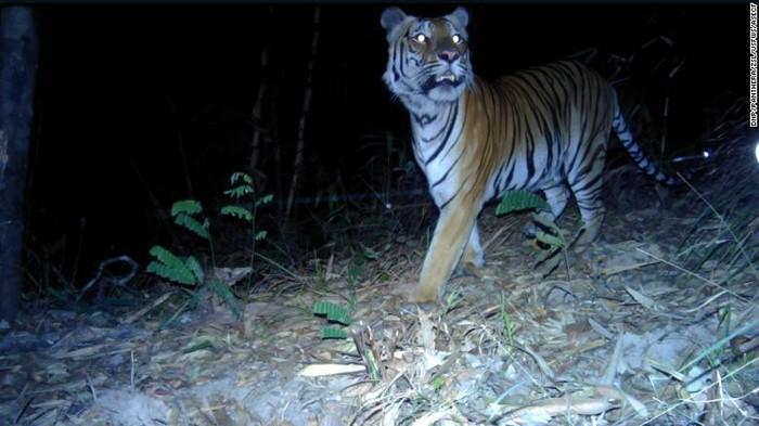 Harimau yang terancam punah terlihat di Thailand