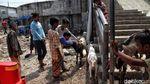 Menengok Pengiriman Hewan Kurban ke Pulau Seribu Jelang Idul Adha