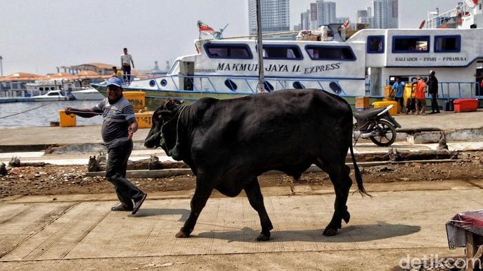 Proses pengiriman hewan kurban menjuk ke Pulau Seribu mulai dilakukan jelang Idul Adha. Sebelum dikirim, hewan-hewan kurban itu telah diperiksa kesehatannya.
