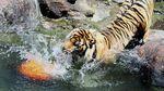 Tahu Engga? Hari Ini Peringatan Harimau Sedunia Lho