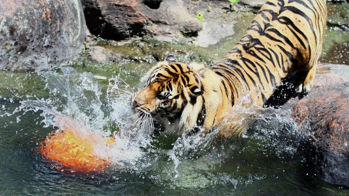 Seekor harimau Sumatra  (Panthera tigris sumatrae) yang diberi nama Bayu berusaha menggapai makanan yang diberikan untuknya dalam Peringatan Hari Harimau Sedunia di Jatim Park 2, Batu, Jawa Timur, Rabu (29/7/2020). Kegiatan tersebut diadakan untuk memberikan dukungan pada program perlindungan habitat dan konservasi harimau agar terhindar dari kepunahan. ANTARA FOTO/Ari Bowo Sucipto/aww.