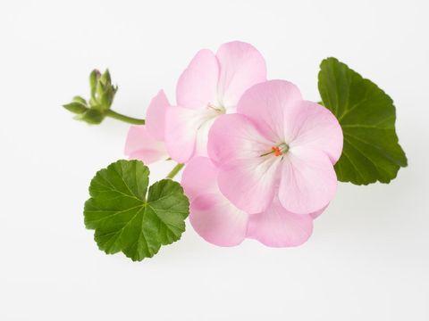 Beautiful light pink geranium