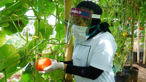 Dengan konsep agro-tourism, destinasi ini menampilkan beragam pertanian Banyuwangi, mulai padi hitam organik hingga beragam buah dan sayur organik. Yang terbaru, ada 33 varietas melon dikembangkan di agrowisata ini. (dok. Disparekraf Banyuwangi)