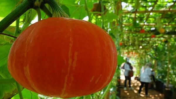 Termasuk salah satunya melon chamoe, varietas melon asli Korea yang jadi primadona di Indonesia. Selain bisa foto-foto, traveler yang liburan ke Agrowisata Tamansuruh bisa belajar tentang pertanian. (dok. Disparekraf Banyuwangi)