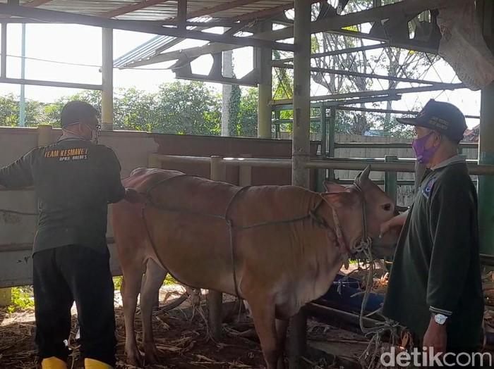 Dinas Peternakan Kabupaten Brebes mengajarkan teknik merebahkan sapi kurban dengan mudah dan tanpa menyakiti, Kamis (30/7/2020).