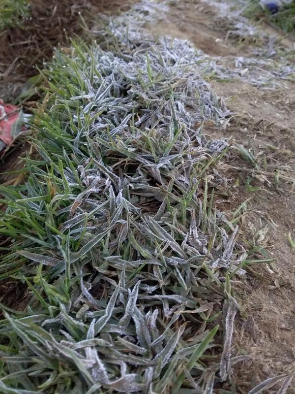 Kepala UPT Dieng Dinas Kebudayaan dan Pariwisata Banjarnegara Sri Utami mengatakan, embun es kembali muncul Kamis (30/7) pagi. Turunnya suhu udara ini sudah terjadi sejak Rabu (29/7) malam. (dok. Istimewa)