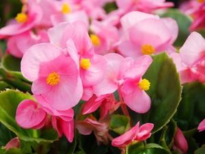 Tanaman Hias Begonia Lagi Hits, Ini 7 Jenisnya untuk Mempercantik Rumah