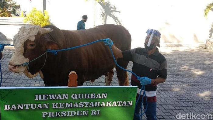 Salah satu sapi sumbangan Presiden Jokowi. di DIY
