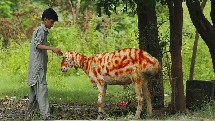 Beragam cara dilakukan oleh warga di Pakistan untuk menyambut Hari Raya Idul Adha. Salah satunya dengan menghias hewan kurban dengan henna. Penasaran?