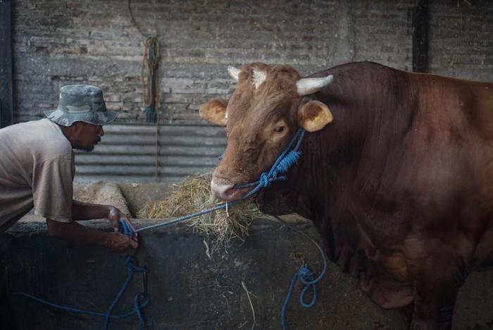 Pekerja memberi makan sapi yang dibeli Presiden Joko Widodo untuk kurban Idul Adha di Polokarto, Sukoharjo, Jawa Tengah, Jumat (24/7/2020). Presiden Joko Widodo membeli sapi jenis limusin dengan berat 1,03 ton tersebut untuk disembelih pada Hari Raya Idul Adha 144! Hijriah di Masjid Agung Solo. ANTARA FOTO/Mohammad Ayudha/wsj.