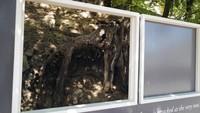 Seorang peneliti Belanda Wouter van der Veen, direktur ilmiah dari Institut Van Gogh di Perancis, memilih lokasi yang tepat di mana Vincent van Gogh melukiskan karya terakhirnya Tree Roots. AP Photo/Francois Mori