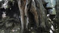 Bahkan akar pohon asli yang dilukis van Gogh juga ada disana dan dipamerkan kepada umum. AP Photo/Francois Mori