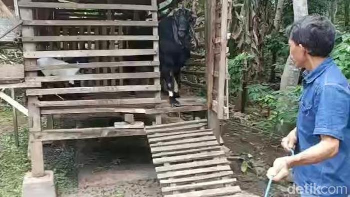 kambing aroma pandan