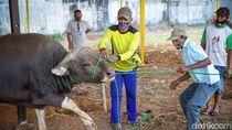 Pemotongan Sapi Tak Manusiawi Jadi Sorotan Australia, Ulama Aceh Buka Suara
