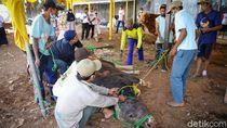 Disorot Australia, Tukang Jagal di Aceh Diminta Jaga Adab Saat Potong Hewan