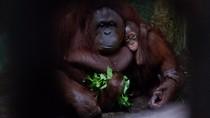 Sambut HUT RI ke-75, Serulingmas Zoo Beri Kado Spesial untuk Agus