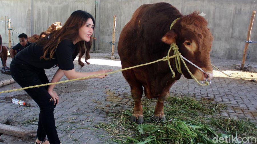Via Vallen ikut berkurban di hari raya Idul Adha ini. Ia berkurban sapi seberat 1,3 ton.