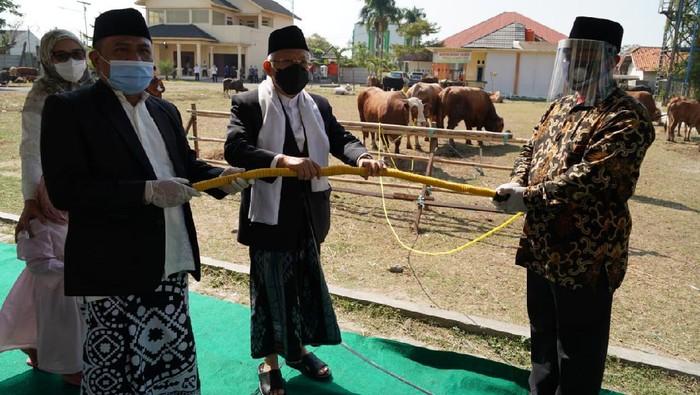 Wapres Maruf Amin sumbang sapi Limosin 878 kg ke masjid di Kab Serang. (Foto: Setwapres)