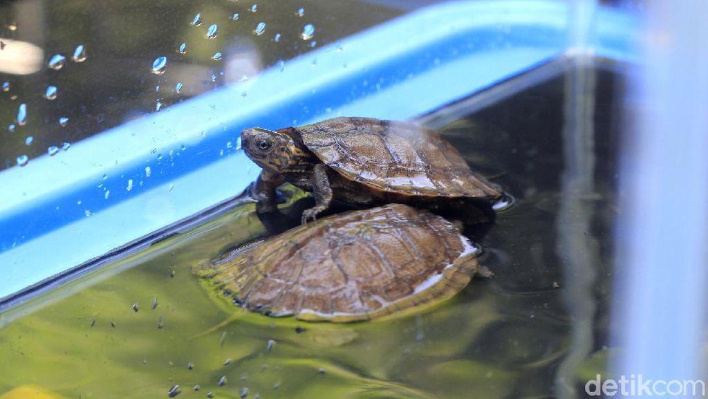 Ini Dia Potret 2 Kura-kura Ceper yang Menetas di Bazoga