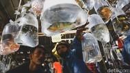 Pasar Ikan Hias di Parung Ramai Banget