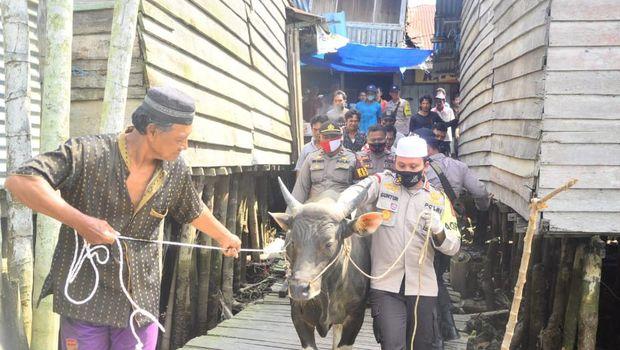 Perjalanan sapi kurban 200 kg ke desa terisolasi di Jambi